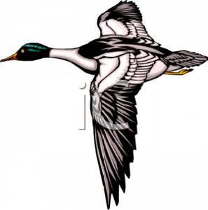 Mallard Duck Clipart.