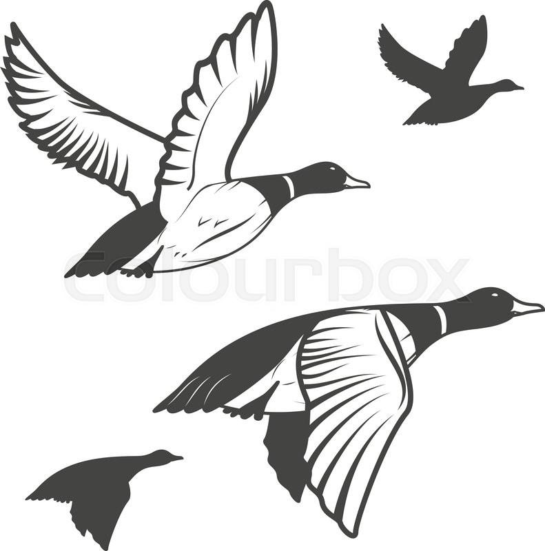 Set of flying wild ducks. Duck hunting. \mallard duck flying.