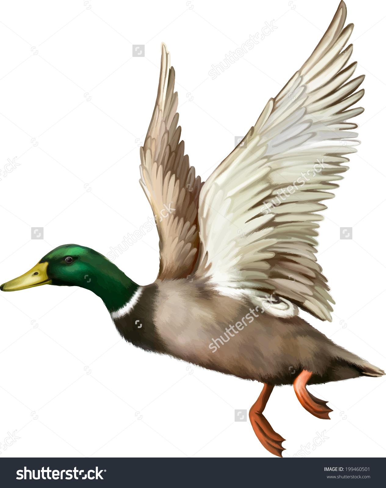 male mallard duck flying vector stock vector 199460501
