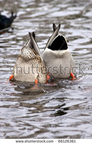 mallard ducks son and father clipart #13