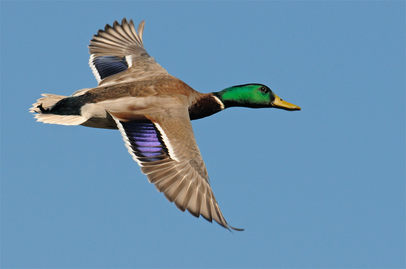 soaring mallard by http://www.grahamowengallery.com/photography.