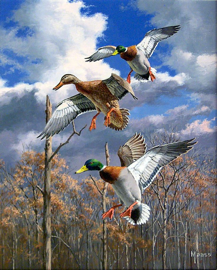 mallard ducks son and father clipart