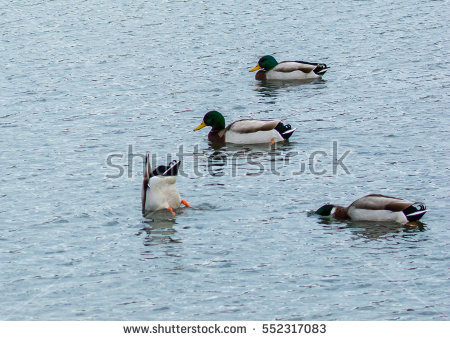 Duck Feeding Stock Images, Royalty.