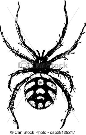 EPS Vector of Theridion malmignatte, vintage engraving.