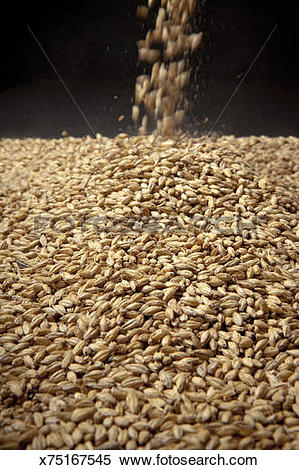 Stock Image of Malted Barley for Brewing Beer x75167545.