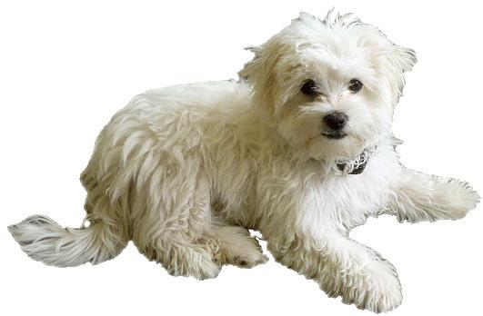 Similiar Maltese Dog Clip Art Keywords.