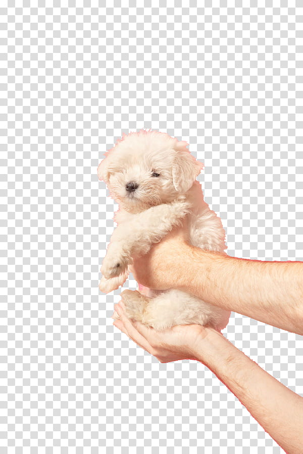 SA Y PEOPLE, person carrying white Maltese puppy transparent.
