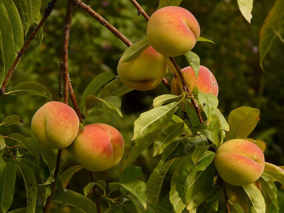 Free photo: Peaches, Peach Tree, Malum Persicum.