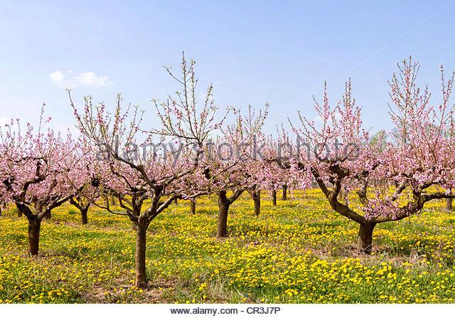 Farming Peach Fruit Tree Stock Photos & Farming Peach Fruit Tree.