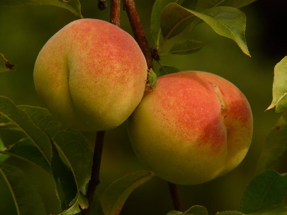 Free photo Malum Persicum Fruit Peach Tree Ripe Peaches Juicy.