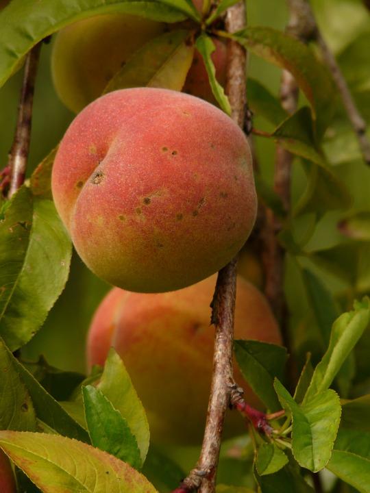 Free photo: Peach, Peach Tree, Malum Persicum.