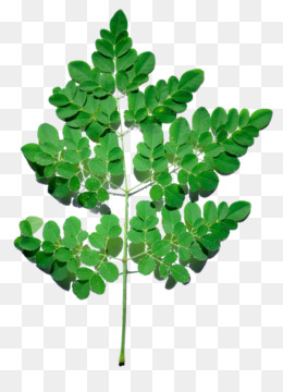 Moringa PNG and Moringa Transparent Clipart Free Download..
