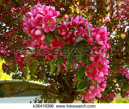 Stock Images of Malus purpurea Eleyi, ornamental apple tree.