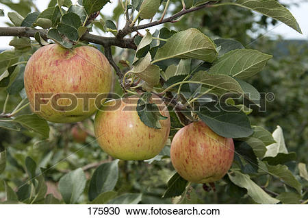 Stock Photography of Domestic Apple (Malus domestica), variety.