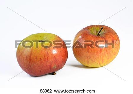 Stock Photo of Domestic Apple (Malus domestica), variety: Ontario.