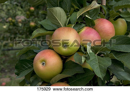 Stock Photograph of Domestic Apple (Malus domestica), variety.