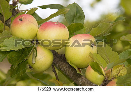 Pictures of Apple (Malus domestica), variety: Royal Jubilee, fruit.