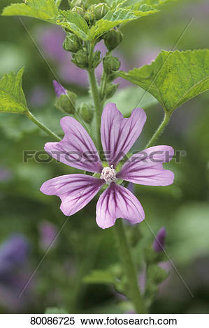 Stock Image of DEU, 2006: Blue Mallow, High Mallow, Common Mallow.