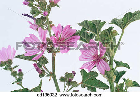 Stock Photo of Common Mallow (Malva silvestris) cd136032.