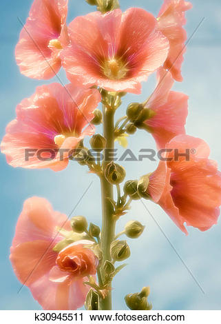 Clipart of Flower stem roses or high Malva k30945511.