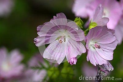 Musk Mallow Malva Moschata Flower Stock Images.