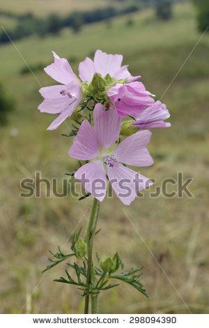 Malva Malvaceae Flower Moschata Stock Photos, Royalty.