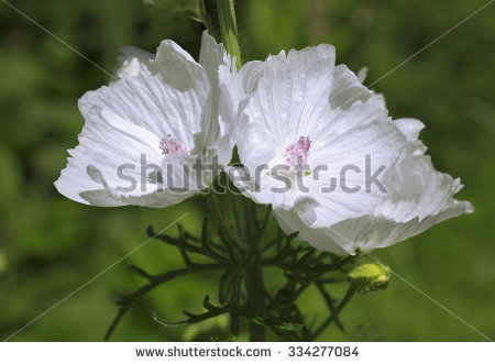 Malva Malvaceae Flower Moschata Stock Photos, Royalty.