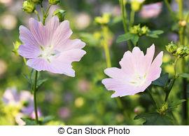 Stock Photographs of Musk Mallow Flower.