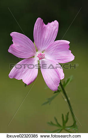 "Stock Image of ""Flowering Musk."