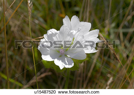 Stock Photography of Scotland, Highland, Speyside, Musk Mallow.