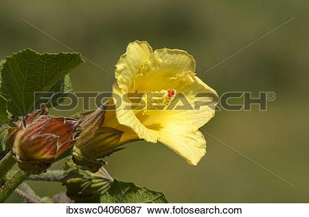 """Picture of """"Flower, mallow family (Malvaceae), Los Quetzales."""