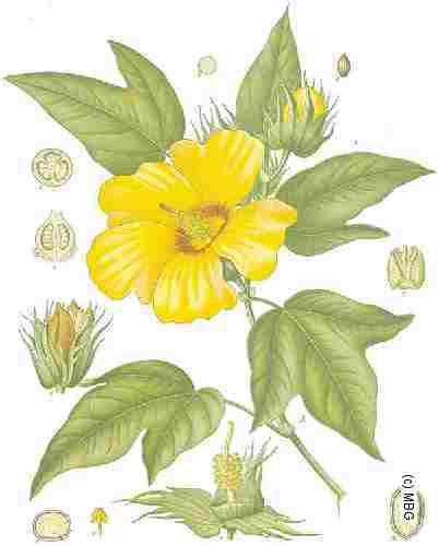 Malvaceae Gossypium.
