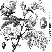 Malvaceae Vector Clipart Illustrations. 125 Malvaceae clip art.