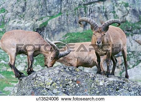 Stock Images of nature, animals, mammals, mammal, horns, animal.