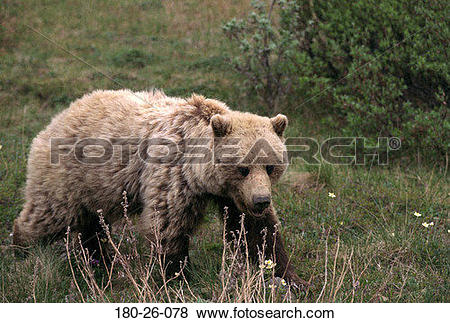 Pictures of Nature, Outdoors, Wild, Mammal, Walking, Bears, Bear.