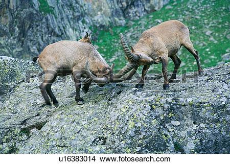 Stock Photo of nature, animals, mammals, mammal, horns, animal.