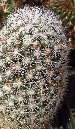 Mammillaria_albicans.jpg.