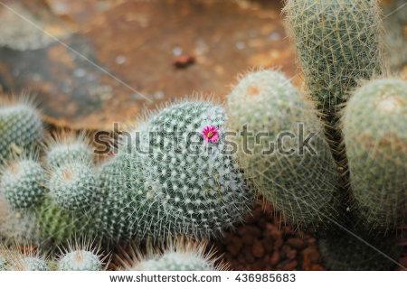 """pincushion Cactus"""" Stock Photos, Royalty."""