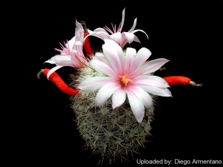 Mammillaria albicans.