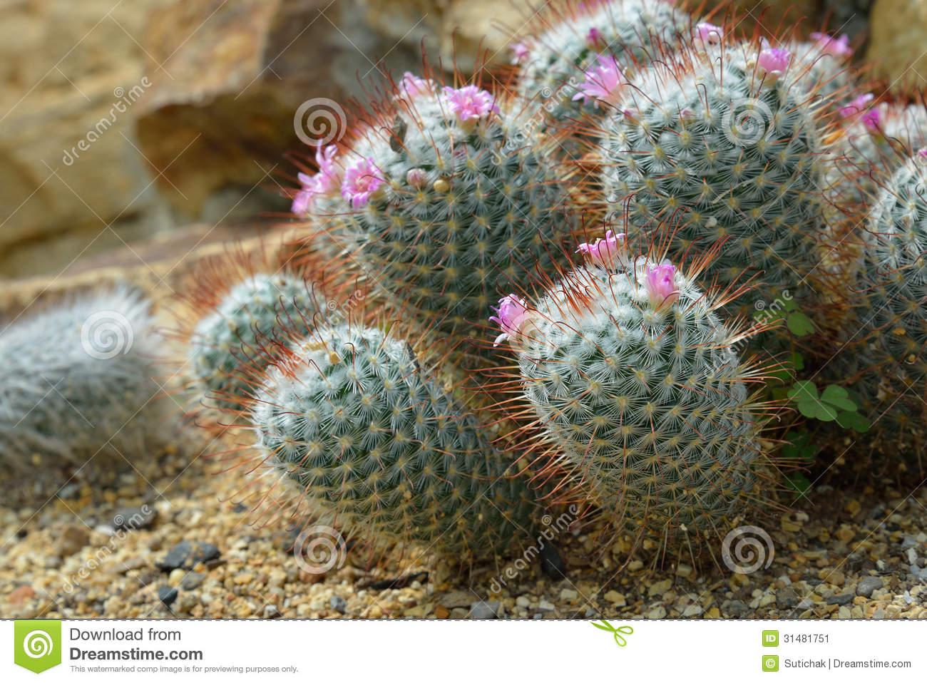 Mammillaria Elegans, Cactus Grows In Sand Stock Image.