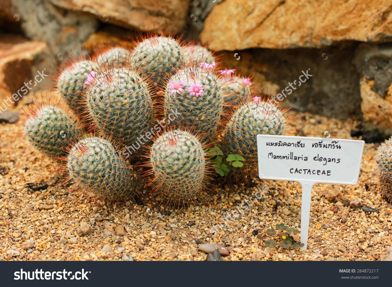Mammillaria Elegans Cactus Stock Photo 284872217 : Shutterstock.