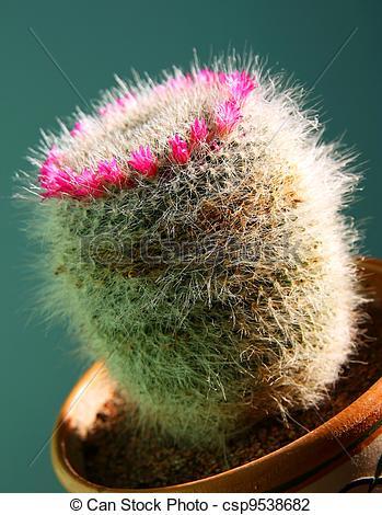 Stock Photo of Cactus mammillaria.