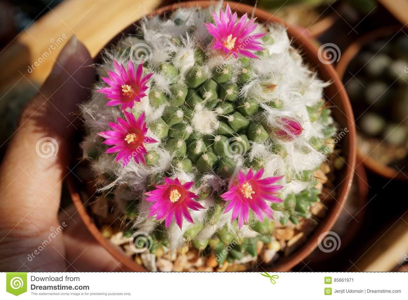 Cactus Flower : Mammillaria Bucareliensis Stock Photo.