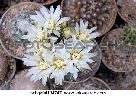 Picture of White cactus flowers (Mammillaria spec.) ibxhgk04134747.