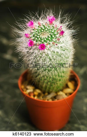 Stock Photo of Closeup of a cactus with pink flower in a pot.