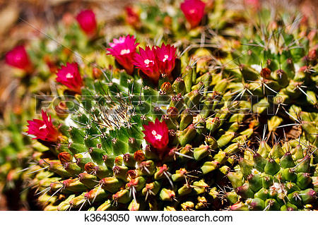 Stock Photography of Mammillaria Cactus blooming in spring.