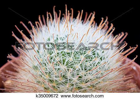 Stock Photo of Mammillaria cactus k35009672.
