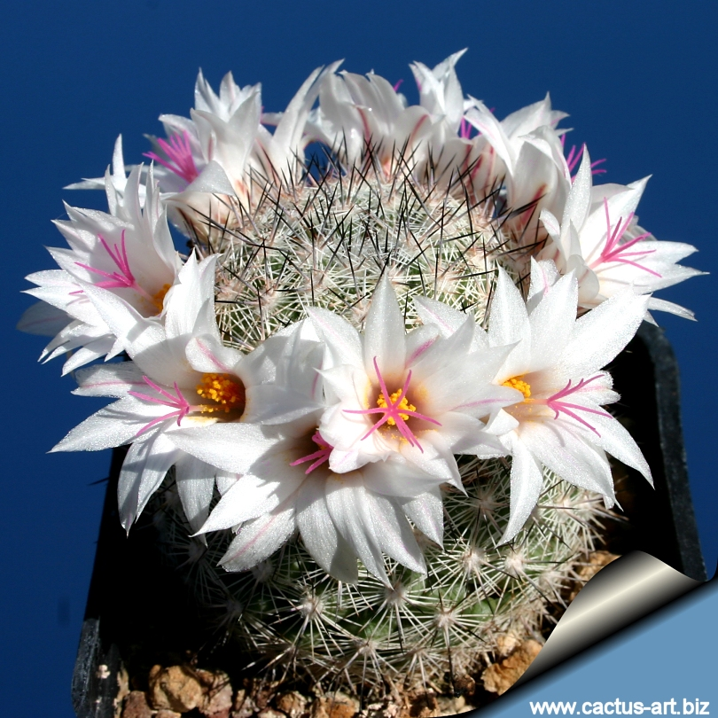 Mammillaria slevinii (Syn: Mammillaria albicans).