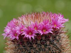 Mammillaria hahniana http://cactiguide.com/cactus/?genus.