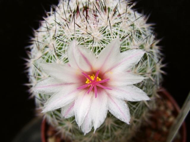 Mammillaria slevinii SB 1251.